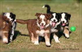 australian shepherd welpen 5 wochen aussie welpen 18 08 2009 gesunde hunde forum
