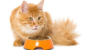 maine coon cat raw food diet archives mainecoon companion