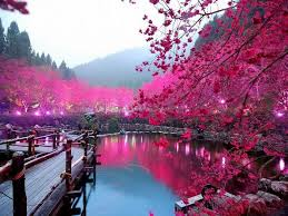 lighted cherry blossom lake in