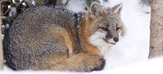 Vermont wild animals images Mammals vermont fish and wildlife jpg