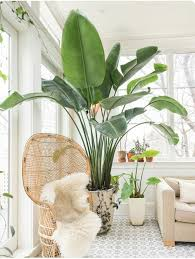 Best Plant For Indoor Low Light Best 25 Large Indoor Plants Ideas On Pinterest Big Indoor