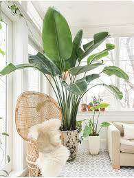 Low Light Indoor Trees Best 25 Large Indoor Plants Ideas On Pinterest Big Indoor