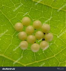 clip art of butterfly eggs on leaves u2013 clipart free download