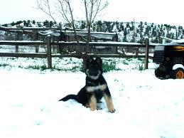 belgian sheepdog breeders indiana king shepherd puppies