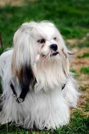 serena parker afghan hound judge history of lhasa apso dogs fun animals wiki videos pictures