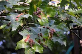 nh notes fuzzy orange galls on oak leaves u2013 naturalis historia