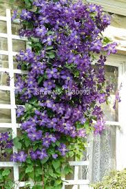 100 pcs bag vines climbing flowers clematis seeds clematis plant