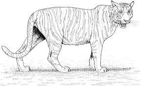 snow tiger coloring page big cat coloring pages snow tiger colouring pages throughout tiger