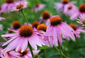 how to grow echinacea purple coneflower planet