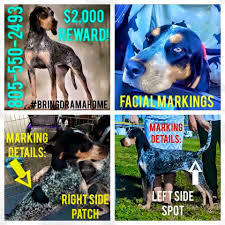 bluetick coonhound price bluetick coonhound sell and trade public group facebook