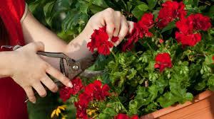 geranien balkon geranien beliebte balkonpflanzen richtig pflegen und überwintern