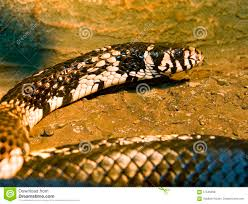 snake chicken eater stock photo image 53145327