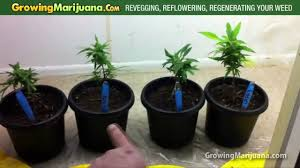 Light Cycle For Weed Revegging Reflowering Regenerating Your Cannabis Plant Growing