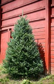 balsam fir christmas tree 7 5 8 foot fraser fir christmas trees green valley christmas trees