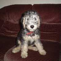 bedlington terrier genetic disease bedlington terrier bedlington terriers breed