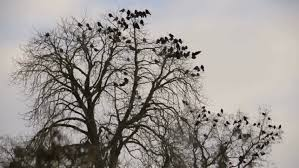 flock of birds flying against a tree stock footage 8938873