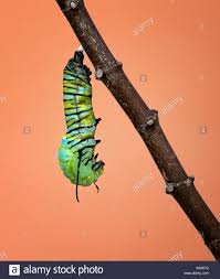 growing more butterflies in south east queensland gecko hills to skin molting stock photos u0026 skin molting stock images alamy