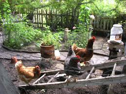 the benefits of backyard chickens