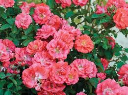 drift roses drift roses at barlow s flower farm sea girt new jersey