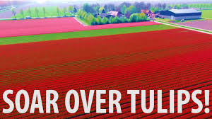 Tulip Field Soaring Over Dutch Tulip Fields Drone Noordoostpolder Youtube