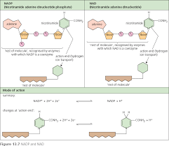 Where Do The Light Independent Reactions Occur Hodder Revision Guide Biology 13 Photosynthesis