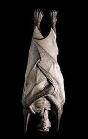 83 best animals bats images on pinterest halloween ideas