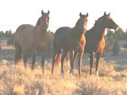 mustang horse oregon wild horse u0026 burro areas