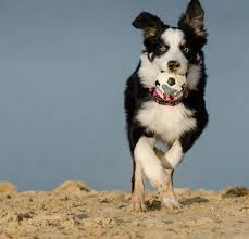 australian shepherd and border collie free images beach summer border collie vertebrate tricolor