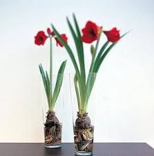 what u0027s the secret to sprouting amaryllis bulbs the seattle times