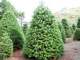christmas trees at evergreen farm