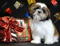 ten week shih tzu puppy surrounded by presents stock