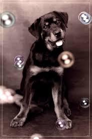 dog bubbles fine art print puppy photography art prints