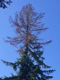 douglas fir tree douglas fir tree only one dying from the top ask an expert