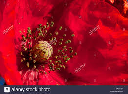 close up of poppies poppy flower macro shots backlit the stock