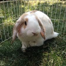 need help identifying my rabbits age backyard chickens