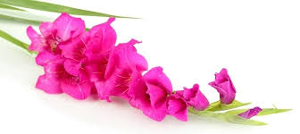flower of the month august flower of the month gladiolus salt box nursery