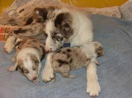 australian shepherd x border collie puppies 101 uses for a border collie tannin border collies