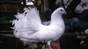 fancy pigeon desktop hd wallpapers 1920x1200 wallpapers13
