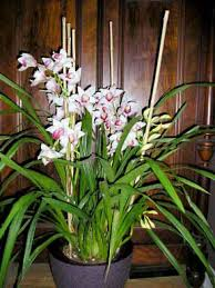 cymbidium orchids orchidexpress the source for orchids in los angeles and beyond