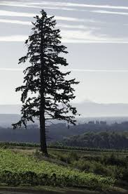 douglas fir tree big doug watches guests strolling the vineyard and labyrinth