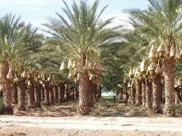 sylvester palm tree price sylvester palm date palms green pointe growers fl