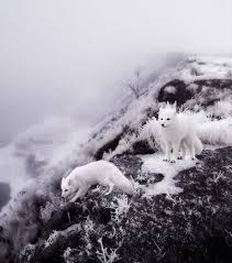 15 stunning winter fox photos that u0027ll make you fall in love with