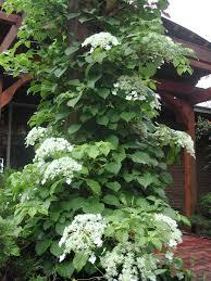 climbing hydrangea hydrangea anomala subsp petiolaris house