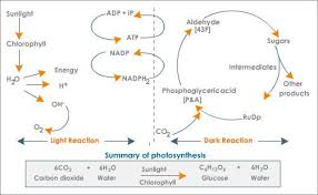 What Happens During The Light Reactions Of Photosynthesis Photosynthesis Reactants Tutorvista Com