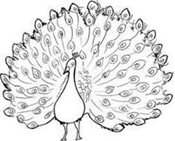 peacock drawing outline best images collections hd for gadget