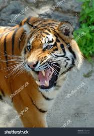 closeup tigers face bare teeth stock photo 61363735 shutterstock