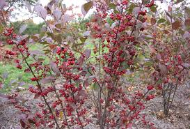 native kentucky plants red chokeberry aronia arbutifolia pic ky native plants