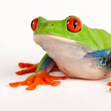 eyed tree frog national geographic