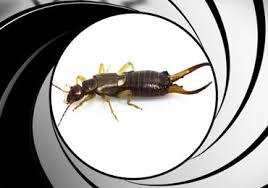 earwig control san diego license to kill pest control of san diego