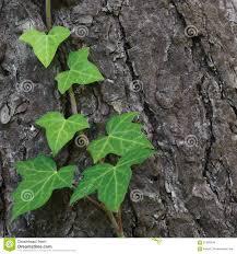 climbing common baltic ivy stem hedera helix l var baltica